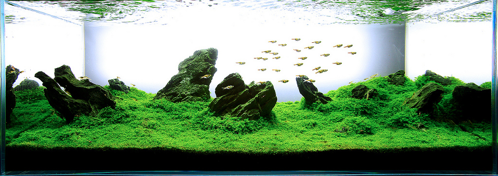 This Is One Of The Most Popular Aquascaping Styles Of The Moment. It Has  Been Made Popular By The Father Of Contemporary Aquascaping, U201cTakashi  Amanou201d.