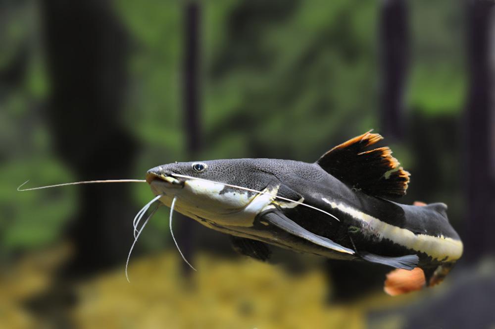 Phractocephalus Hemioliopterus - Roodstaartmeerval